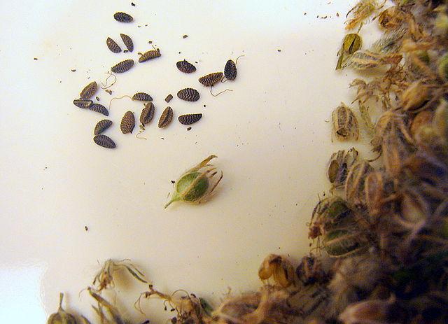 Как собрать семена с фацелии в домашних условиях