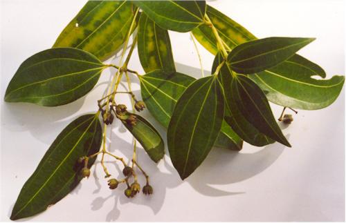 Cinnamon verum leaves and flowers