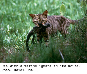 galapagos invasive species cats feral cat 300x255