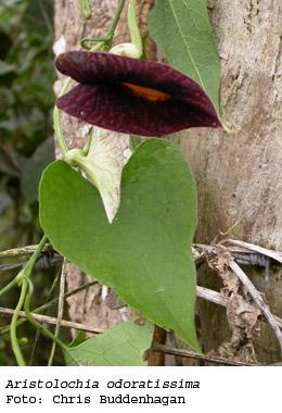 Especies invasoras de galapagos plantas for Plantas ornamentales del ecuador