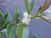 image of Psidium cattleianum