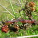 image of Rubus discolor