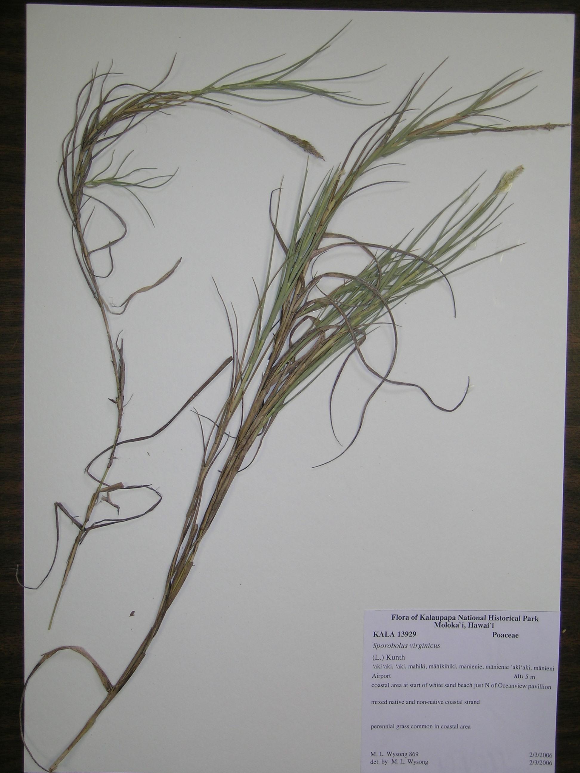 sporobolus virginicus voucher kala13929 sporobolus virginicus species    Sporobolus Virginicus