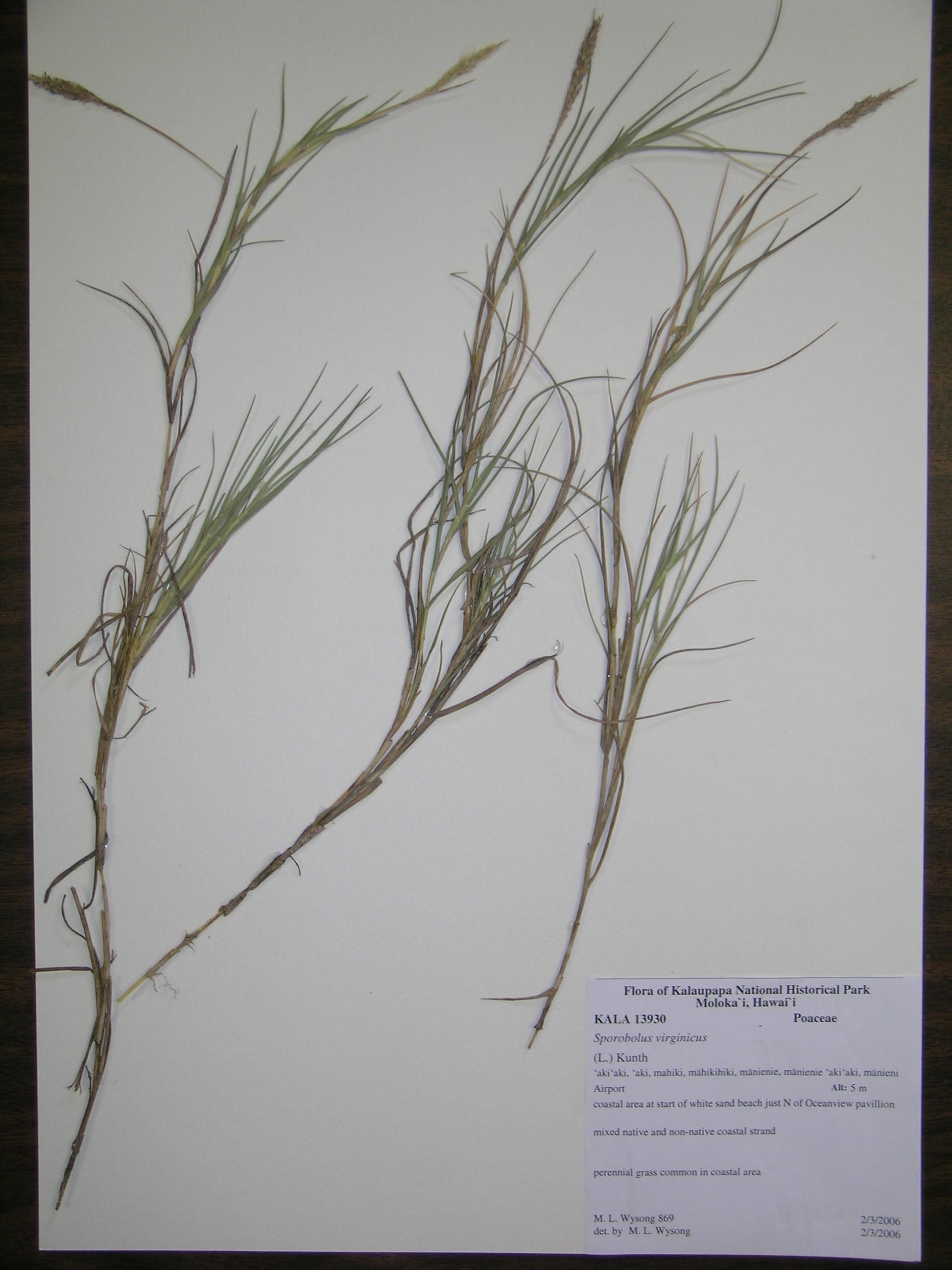 sporobolus virginicus voucher kala13930 sporobolus virginicus species    Sporobolus Virginicus