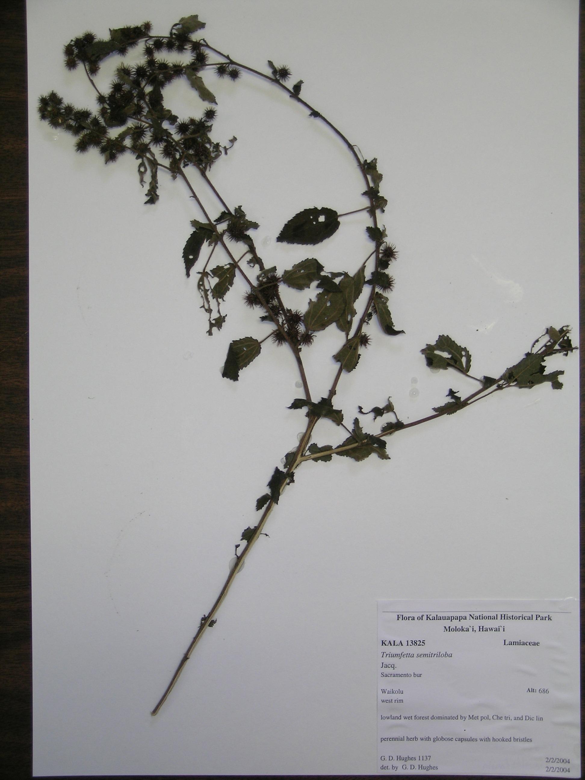 Triumfetta Semitriloba