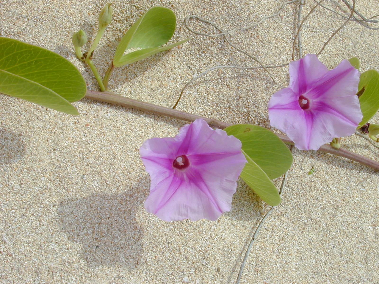 Kanaha beach park maui natural areas of hawaii native plants and beach goers at kanaha beach maui izmirmasajfo