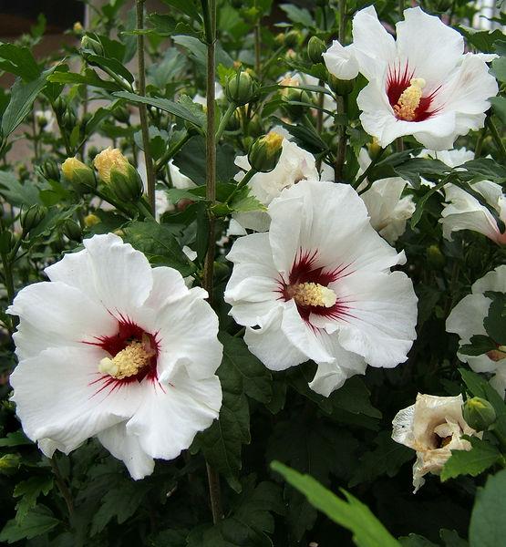 Hibiscus syriac...