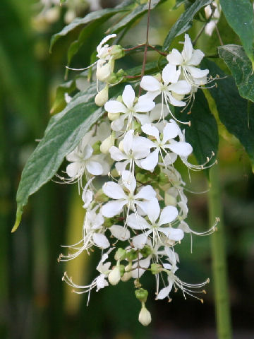 Clerodendrum wallichii image (PIER)