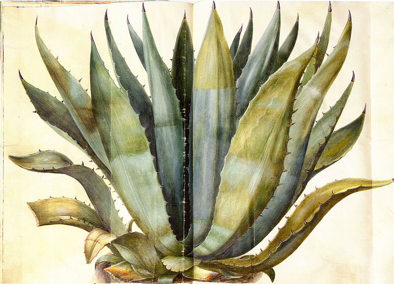 Gallery For gt Agave Drawing