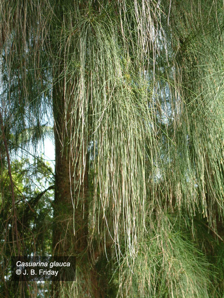 symbolism in our casuarina tree T he evergreen tree was an ancient symbol of life in the midst of winter the ancestors of our modern christmas tree lights and ornaments nicholas and wenceslas.