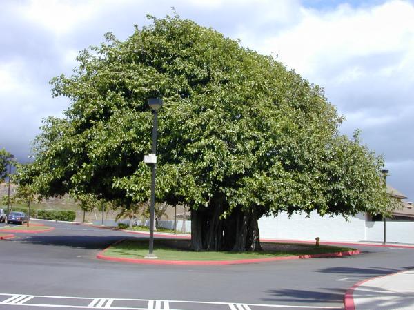 Ficus benghalensis image (PIER)